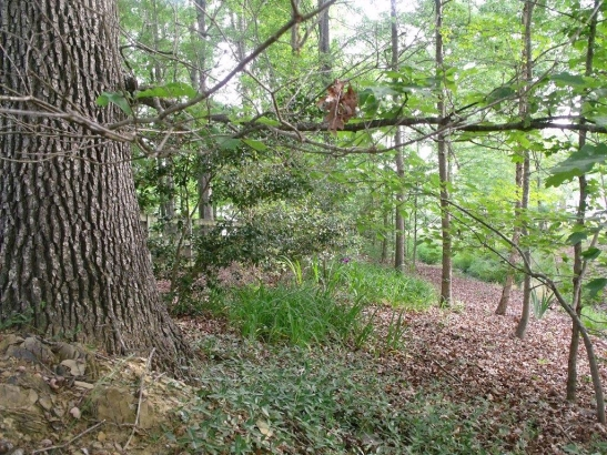Vinca minor enjoying naturalizing at the base of this tree, looking from the south hillside.